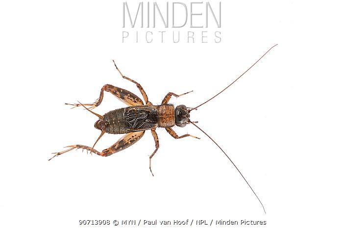 Wood-cricket (Nemobius sylvestris) male, The Netherlands, August. Meetyourneighbours.net project