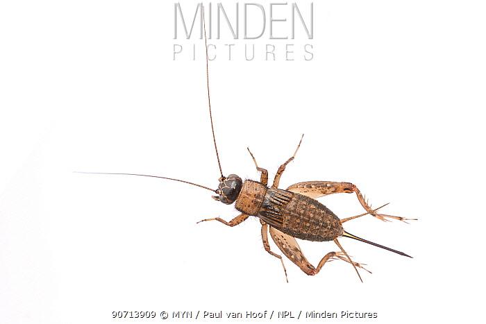 Wood-cricket (Nemobius sylvestris) female, The Netherlands, August. Meetyourneighbours.net project