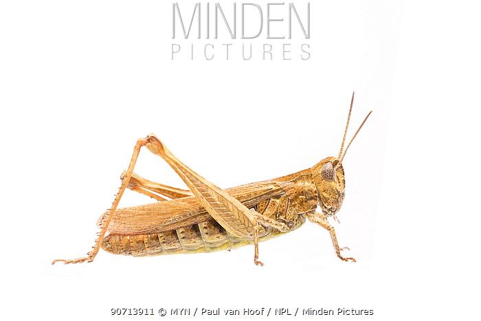 Common field grasshopper (Chorthippus brunneus) female, The Netherlands, August. Meetyourneighbours.net project