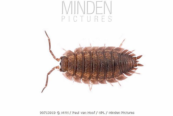 Common rough woodlouse (Porcellio scaber) adult, The Netherlands, September. Meetyourneighbours.net project