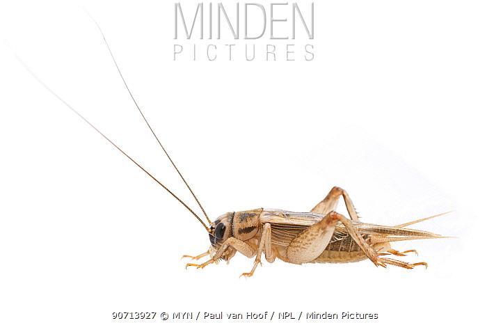 House cricket (Acheta domesticus) male, The Netherlands, September. Meetyourneighbours.net project