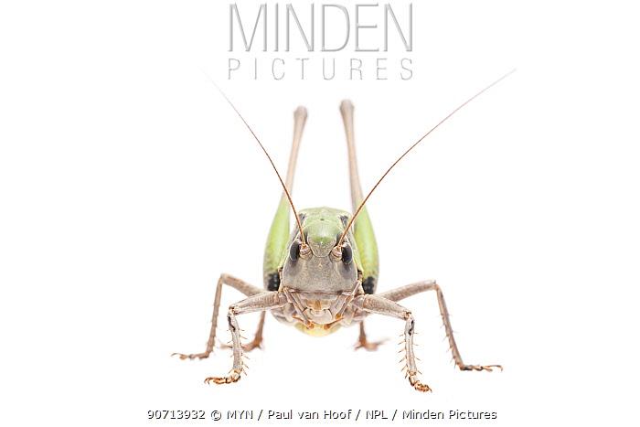 Wart-biter bush-cricket (Decticus verrucivorus) male, The Netherlands, July. Meetyourneighbours.net project