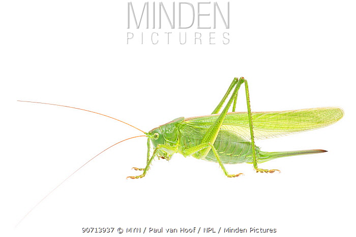 Great green bush-cricket (Tettigonia viridissima) female, The Netherlands, July. Meetyourneighbours.net project