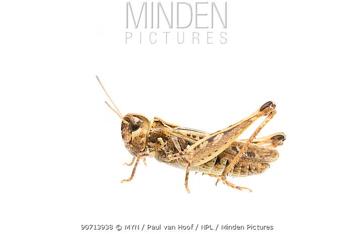 Mottled grasshopper (Myrmeleotettix maculatus) female, The Netherlands, July. Meetyourneighbours.net project