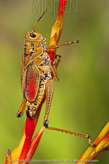 Southern lubber grasshopper, (Romalea microptera) adult on plant, Southwest Florida, USA, April.