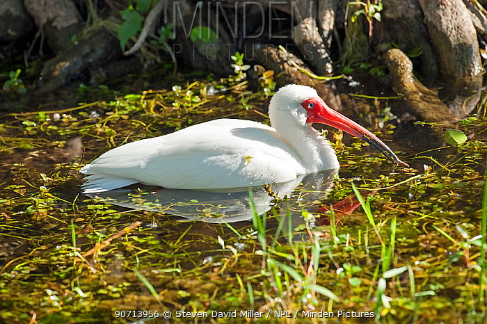 White ibis (Eudocimus albus) in water, Everglades National Park, Florida, USA. March.