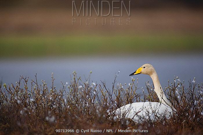 Whooper swan (Cygnus cygnus) Iceland, May.