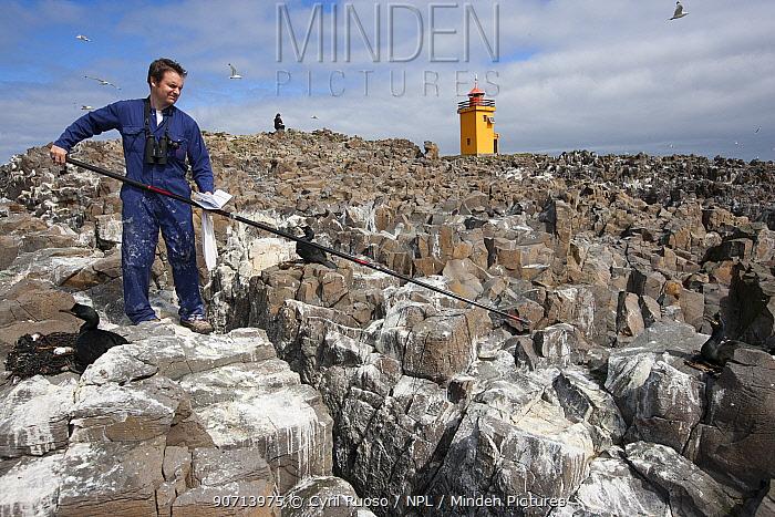 Ornithologist Francis Daunt  catching European shag (Phalacrocorax aristotelis) to retrieve GPS tag, near Flatey Island, West fjord, Iceland, June.