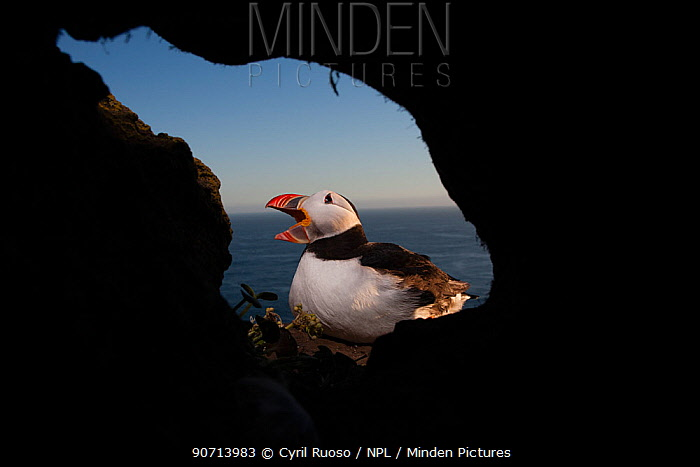 Atlantic puffin (Larus tridactyla) seen from burrow, Iceland, July.