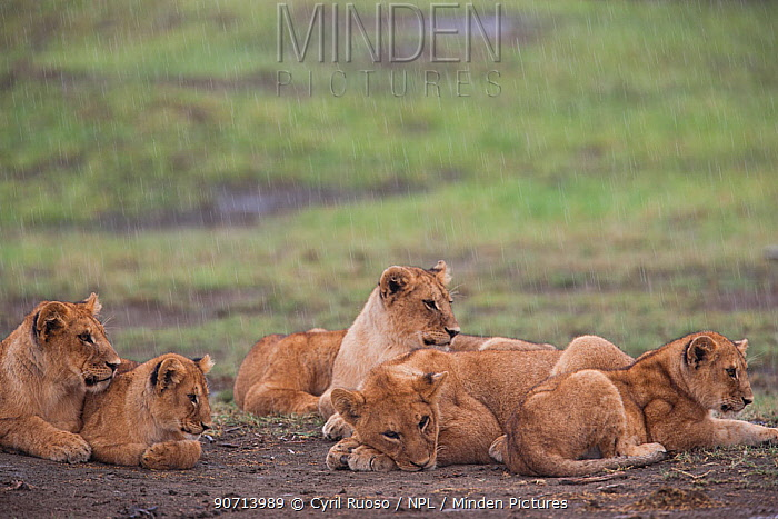 Lionesses (Panthera leo) and cubs in the rain, Ngorongoro Conservation Area, Tanzania.