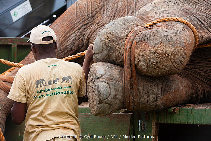 Man standing next to African elephant (Loxodonta africana)  anesthetized during translocation by Kenya Wildlife Service, due to over population, Mwaluganje Reserve, Kenya. October 2006.