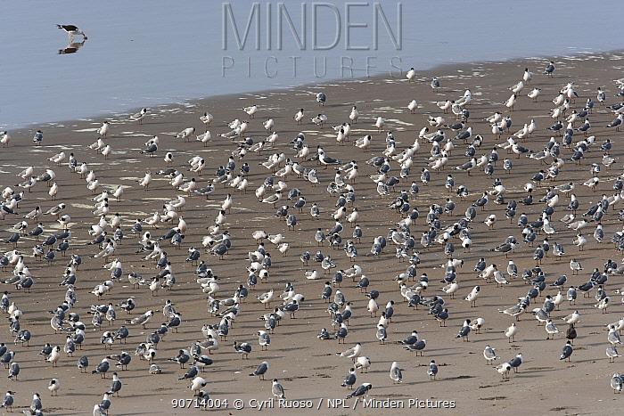 Franklin gulls (Larus pipixcan) flock on the south coast of Peru.