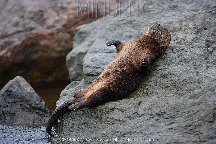 Marine otter (Lontra felina) resting on the shore, Peru.