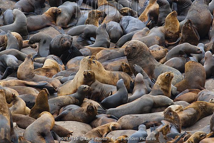 South American sea lion (Otaria byronia) and American fur seal (Arctocephalus australis) colony,  Punta Coles reserve, Peru. December
