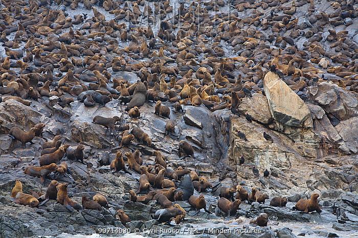 South american sea lion (Otaria byronia) and American fur seal (Arctocephalus australis) Punta Coles Reserve,  Peru, December.