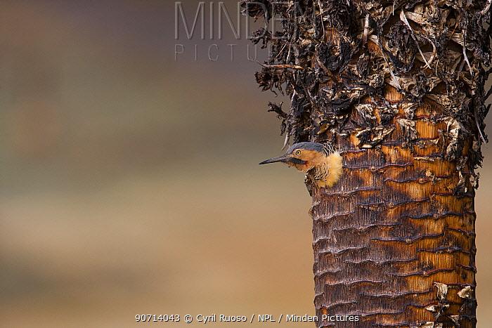 Andean Flicker (Colaptes rupicola) coming out of nest, Cordillera Blanca Massif, Andes, Peru, November.