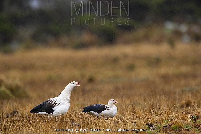 Andean goose (Chloephaga melanoptera) Cordillera Blanca Massif, Andes, Peru, November.
