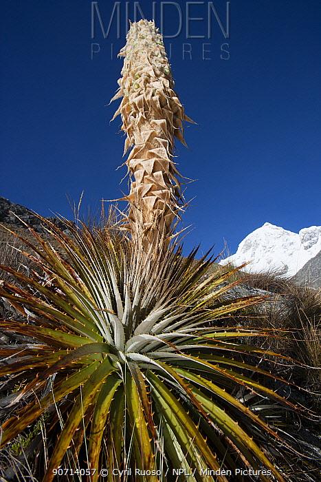 Puya (Puya sp) plant blooming, Cordillera Blanca Massif, Andes, Peru, November