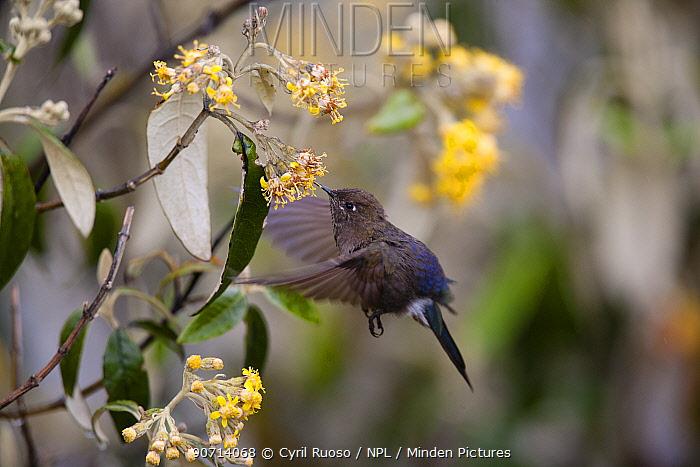 Humming bird (Trochlidae) feeding, Cordillera Blanca Massif, Andes, Peru.