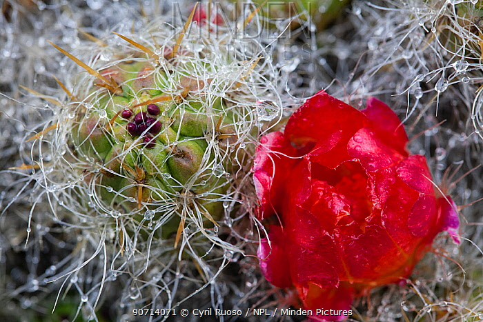 Prickly pear (Opuntia flocossa) flower, Cordillera Blanca Andes Massif, Peru.