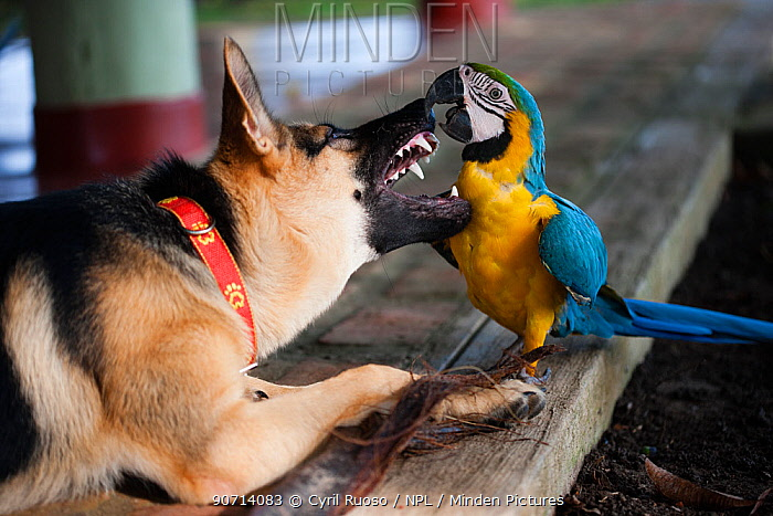 Blue and yellow macaw (Ara ararauna) captive bird playing with German shepherd dog, Amazon, Peru.