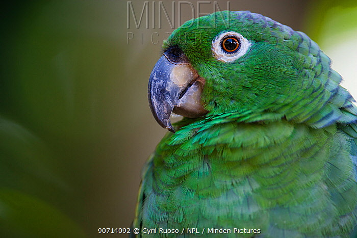 Mealy amazon parrit (Amazona farinosa) Amazon, Peru.