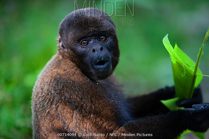 Common woolly monkey (Lagothrix lagotricha) Ikamaperou Sanctuary, Amazon Peru.