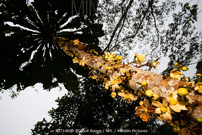 Sachamangua tree (Grias peruviana) Amazon, Peru.