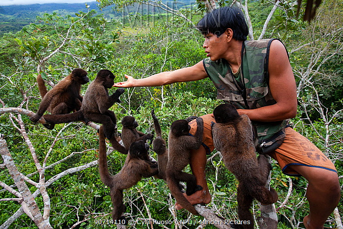 Keeper feeding Common woolly monkeys (Lagothrix lagotricha) in Ikamaperou Sanctuary, Amazon, Peru. October 2006.