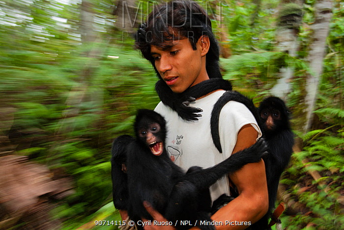 Man with Chamec spider monkeys (Ateles chamek) holding onto him as he walks through sanctuary. Ikamaperou Sanctuary, Amazon, Peru. October 2006.