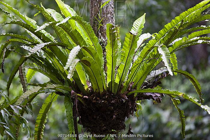 Tree fern, Gunung Leuser NP, Sumatra, Indonesia.
