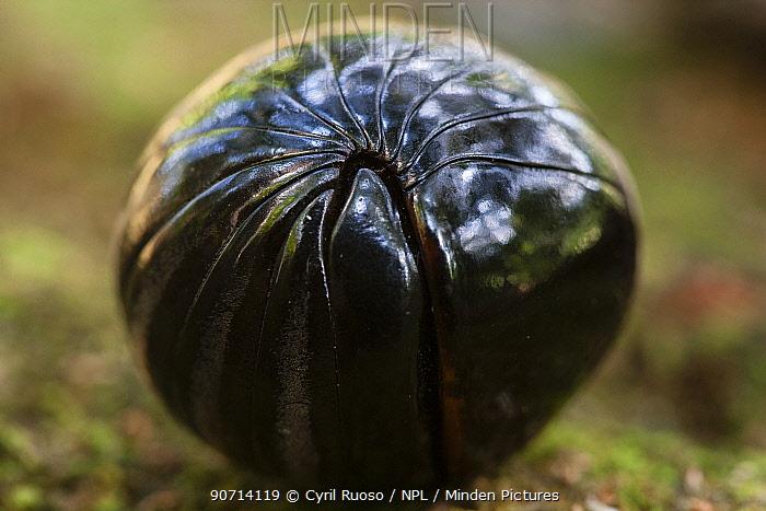 Pill millipede (Glomeris sp) Gunung Leuser NP, Sumatra, Indonesia.