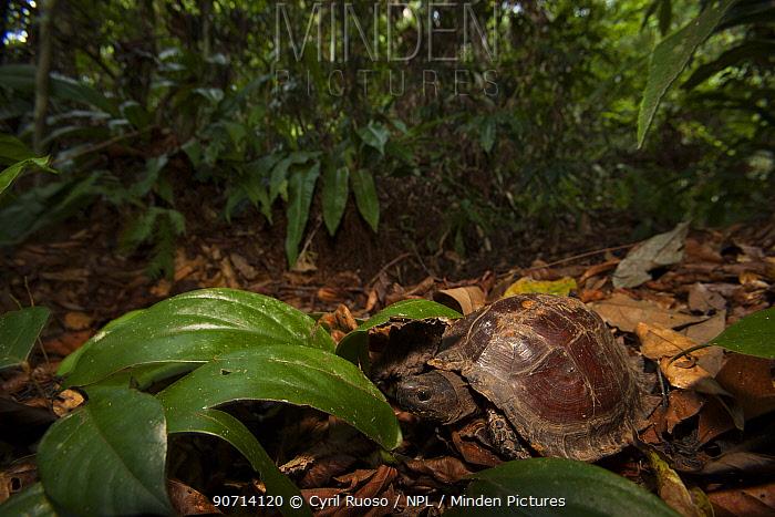 Burmese brown tortoise (Manouria emys) in tropical rainforest, Gunung Leuser National Park, Indonesia.