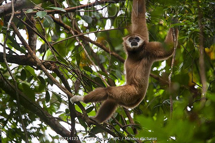 Lar gibbon (Hylobates lar)using arms to swing through trees, Gunung Leuser NP, Sumatra, Indonesia.