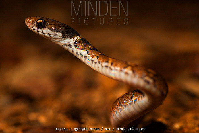 Snake (Colubridae) Bukit Barisan National Park, Sumatra, Indonesia.