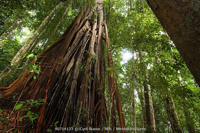 Fig tree (Ficus sp) in rainforest, Bukit Barisan National Park, Sumatra, Indonesia.