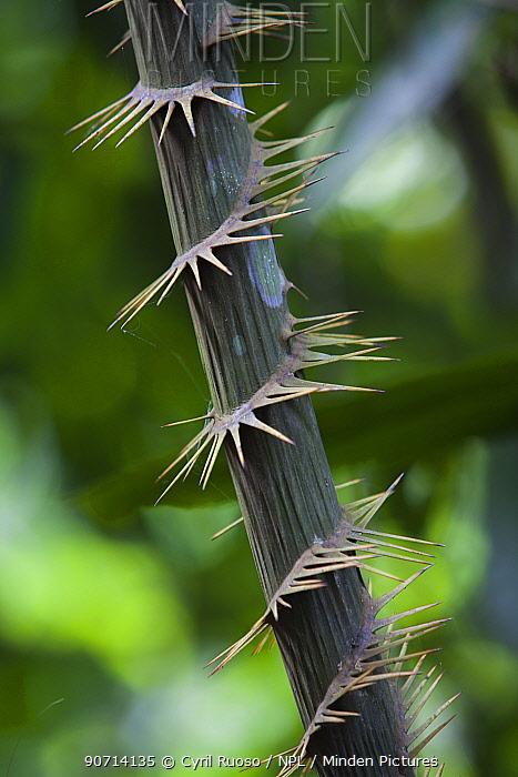 Rattan (Calameae) spines on stem, Gunung Leuser NP, Sumatra, Indonesia.
