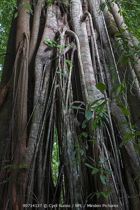 Fig trees (Ficus sp) in tropical rainforest, Bukit Barisan National Park, Sumatra, Indonesia.