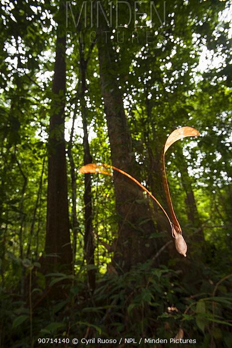 Fruit of a Dipterocarp tree (Dipterocarpaceae) seed falling to the ground, Way Kambas National Park, Sumatra, Indonesia.