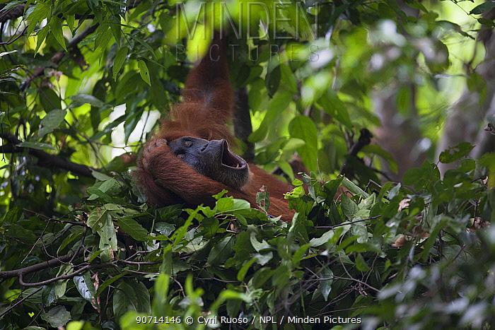 Sumatran orangutan (Pongo abelii) female in day nest,   Gunung Leuser National Park, Sumatra, Indonesia.