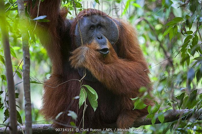 Sumatran orangutan (Pongo abelii) adult male, Gunung Leuser National Park, Sumatra, Indonesia.