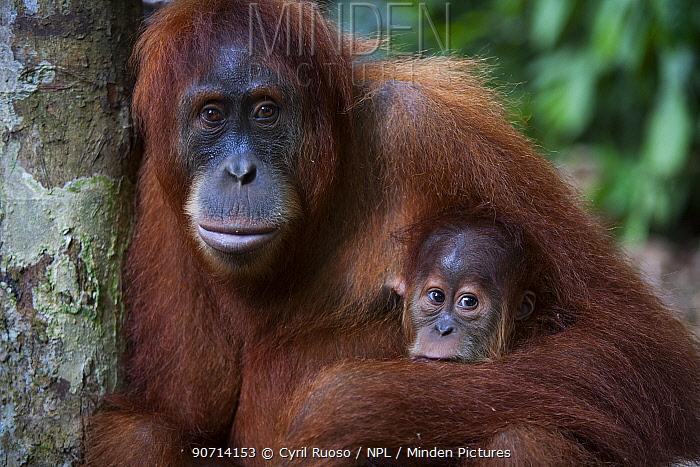 Sumatran orangutan (Pongo abelii) female and young, Gunung Leuser National Park, Sumatra, Indonesia.