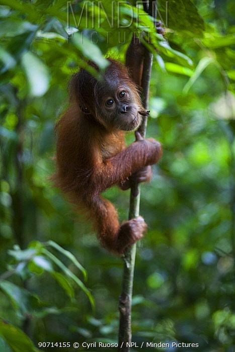 Sumatran orangutan (Pongo abelii) baby climbing, Gunung Leuser National Park, Sumatra, Indonesia.