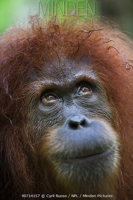 Sumatran orangutan (Pongo abelii) adult female portrait, Gunung Leuser National Park, Sumatra, Indonesia.