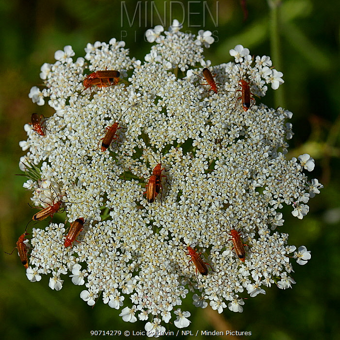 Common red soldier beetles (Rhagonicha fulva) on Wild carrot (Daucus carota) Vendee, France, June