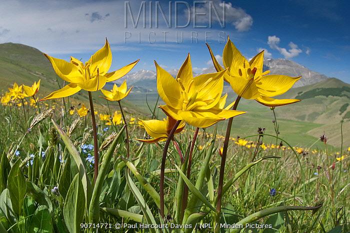 Yellow tulip (Tulipa australis) in flower, above Piano Grande, Sibillini, Appennines, Umbria, Italy, May 2011