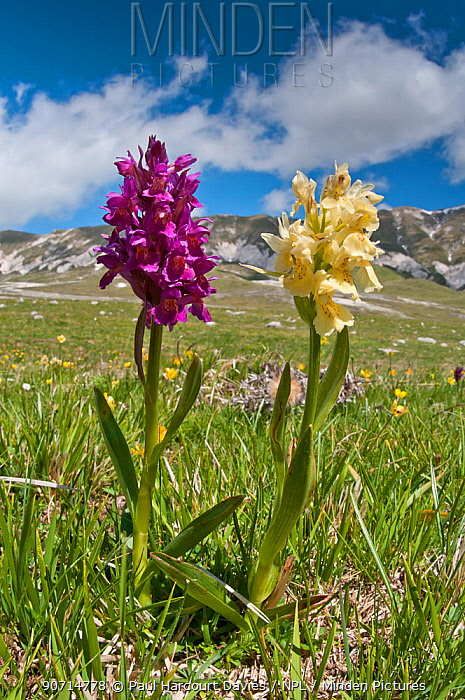 Elder flower orchid (Dactylorhiza sambucina) in its two colour forms, Campo Imperatore, Gran Sasso, Appennines, Abruzzo, Italy, May
