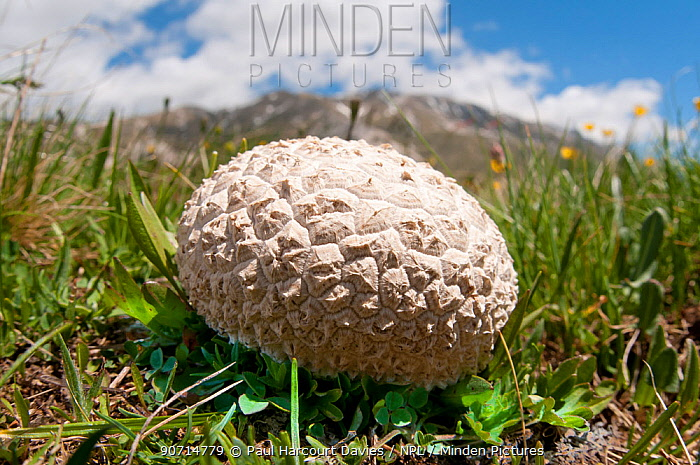 Common earthball (Scleroderma citrinum) Campo Imperatore, Gran Sasso, Appennines, Abruzzo, Italy, May