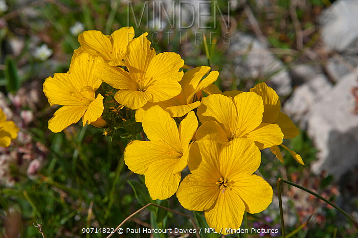 Minden pictures stock photos yellow flax linum capitatum in yellow flax linum capitatum in flower in canyon on campo imperatore gran mightylinksfo
