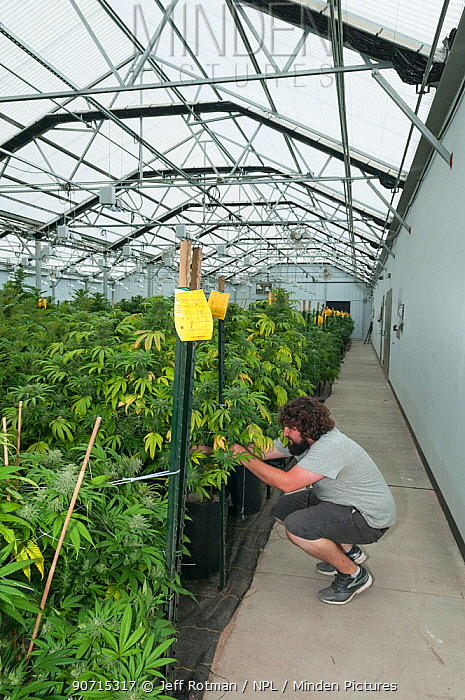 Man tending Cannabis plants in organic Marijuana farm, Pueblo, Colorado, USA, June 2015. Marijuana has legalized in the state of Colorado, and this farm produces Marijuana for medical and retail purposes. Model and Property released.